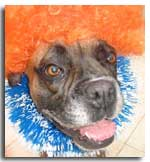 Boxer dog in fancy dress